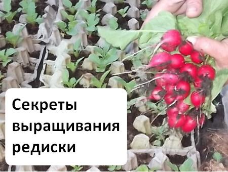 Секреты выращивания редиски