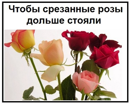 Чтобы срезанные розы дольше стояли