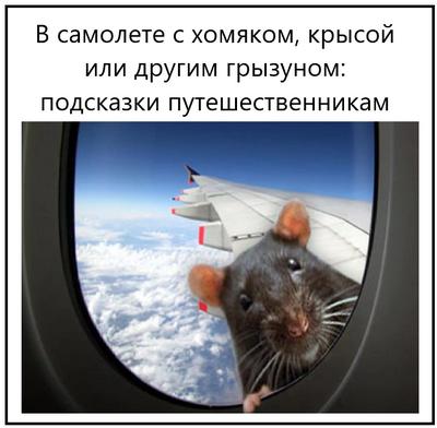 В самолете с хомяком, крысой или другим грызуном подсказки путешественникам