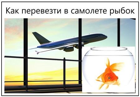Как перевезти в самолете рыбок